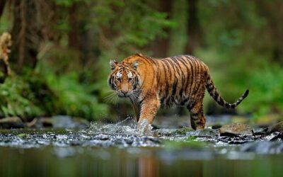 Παγκόσμια Ημέρα Τίγρης: Ας κάνουμε όλοι μια πράξη αγάπης για το οικοσύστημα